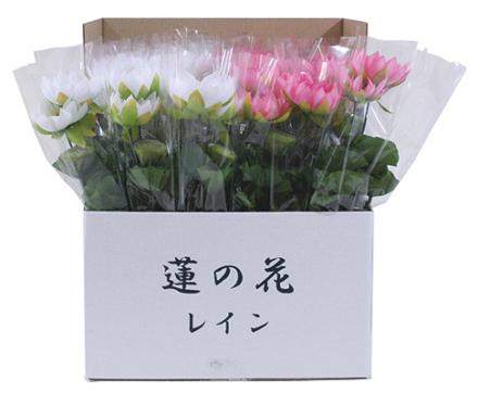 新蓮の花レイン